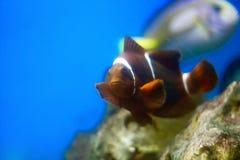 褐红的小丑鱼- Amphiprioninae 免版税图库摄影