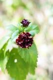 褐红的木槿花 免版税库存照片