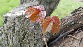 褐红的槭树花 免版税库存图片