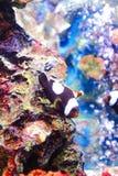 褐红的Clownfish 免版税库存图片