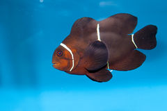 褐红的Clownfish (Premnas biaculeatus) 免版税图库摄影