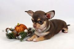 褐色和棕褐色的奇瓦瓦狗小狗画象  免版税图库摄影