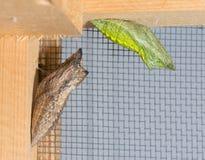 褐色和绿色变体东部黑Swallowtail蝶蛹 免版税图库摄影