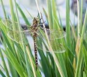 褐色和黄色蜻蜓  图库摄影