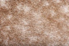 褐色接近的外套马s 免版税库存图片