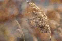褐色接近的草 库存图片
