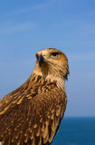 褐色接近的鹰 图库摄影