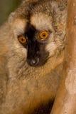 褐色朝向狐猴红色 图库摄影