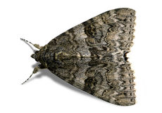 褐色查出的飞蛾 库存图片