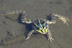 褐色浮动青蛙绿色水 库存图片