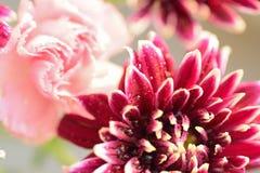 褐色的大丽花宏观纹理开花与水滴 免版税图库摄影