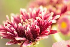 褐色的大丽花宏观纹理开花与水滴 免版税库存照片