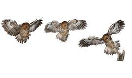 黄褐色的猫头鹰,棕色猫头鹰,猫头鹰类aluco 免版税库存图片