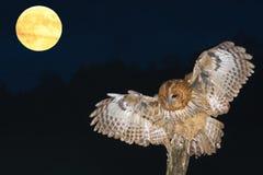 黄褐色的猫头鹰,棕色猫头鹰,猫头鹰类aluco 免版税图库摄影