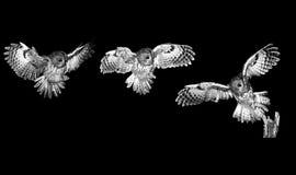 黄褐色的猫头鹰,棕色猫头鹰,猫头鹰类aluco 免版税库存照片