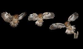 黄褐色的猫头鹰,棕色猫头鹰,猫头鹰类aluco 库存照片