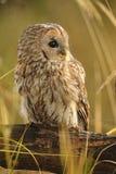 黄褐色的猫头鹰,棕色猫头鹰,猫头鹰类aluco 库存图片