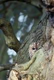 黄褐色的猫头鹰,猫头鹰类aluco 免版税库存图片