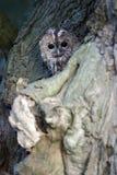 黄褐色的猫头鹰,猫头鹰类aluco 图库摄影