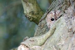 黄褐色的猫头鹰,猫头鹰类aluco 免版税图库摄影