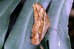 黄褐色的猫头鹰蝴蝶本质上 免版税库存图片