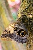 黄褐色的猫头鹰蝴蝶本质上 库存图片