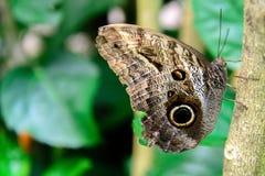 黄褐色的猫头鹰蝴蝶本质上 免版税库存照片