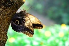 黄褐色的猫头鹰蝴蝶本质上 免版税图库摄影