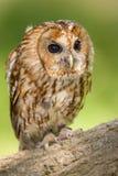 黄褐色的猫头鹰画象 免版税库存照片
