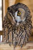 黄褐色的猫头鹰 免版税库存照片