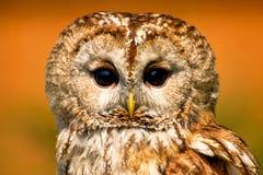 黄褐色的猫头鹰 免版税库存图片