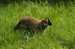 褐色的眼睛狐猴猴子 库存图片