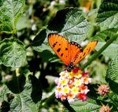 黄褐色的科斯塔斯蝴蝶 库存照片