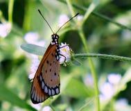 黄褐色的科斯塔斯蝴蝶 免版税库存照片