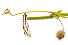 黄褐色的coster蛹 库存图片