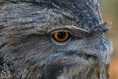 黄褐色的Frogmouth猫头鹰 库存图片