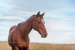 黑褐色皮包骨头的马 免版税图库摄影