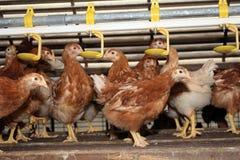褐色空转后放置稳定的母鸡 免版税库存照片