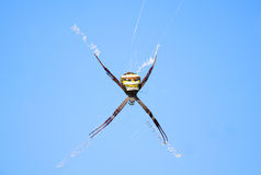 黄褐色蜘蛛 库存照片