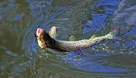 褐色被捉住的飞行鳟鱼 免版税库存照片