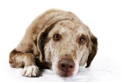 褐色被注视的狗纵向  库存照片