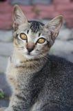 褐色被注视的猫画象  免版税库存照片