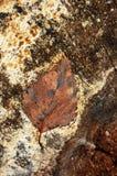 褐色退了色叶子 免版税图库摄影