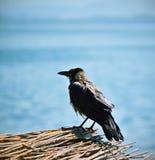 褴褛黑乌鸦 库存图片