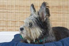 褴褛的狗 免版税图库摄影