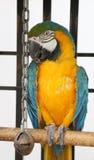 褴褛的金刚鹦鹉 库存照片