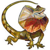 褶边收缩的蜥蜴 免版税库存照片
