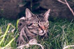 巴西人拿着他在草的Shorthair猫喜爱的绳子玩具 库存照片