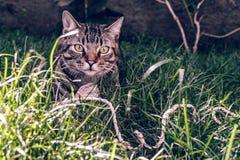 巴西人拿着他在草的Shorthair猫喜爱的绳子玩具 免版税库存图片