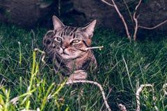 巴西人拿着他在草的Shorthair猫喜爱的绳子玩具 库存图片